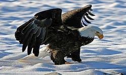 Tourism Squamis Eagles
